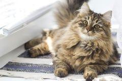Chat domestique pelucheux se trouvant sur la fenêtre photos stock