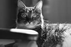 Chat domestique rayé se dorant au soleil dans une chambre Photographie stock libre de droits