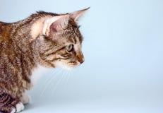 Chat domestique rayé, vue de côté photographie stock libre de droits