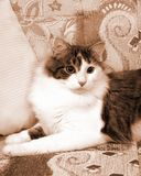 Chat domestique sur le lit, vue de vintage dans la sépia Images stock