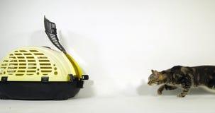 Chat domestique tigré de Brown, chat marchant à son panier de transport sur le fond blanc, mouvement lent clips vidéos