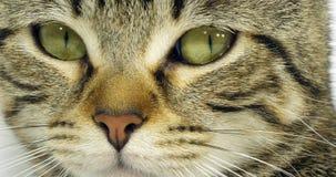 Chat domestique tigré de Brown, portrait d'un chat sur le fond blanc, plan rapproché des yeux et moustache, mouvement lent banque de vidéos