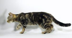 Chat domestique tigré de Brown, chat sur le fond blanc, mouvement lent banque de vidéos