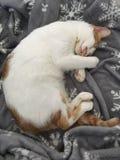 Chat dormant sur la couverture d'hiver Photos libres de droits