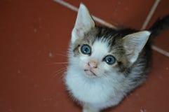 Chat doux de yeux de bleus layette photo libre de droits