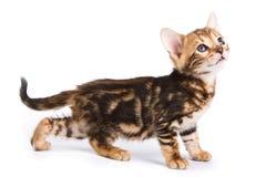 Chat drôle de Kitten Bengal photos libres de droits