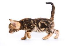 Chat drôle de Kitten Bengal images libres de droits
