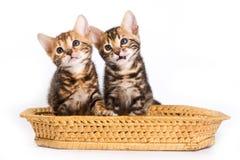 Chat drôle de Kitten Bengal photos stock