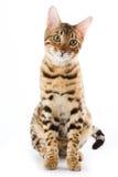 chat du Bengale photo stock