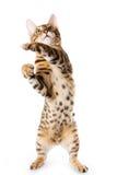 chat du Bengale photographie stock libre de droits