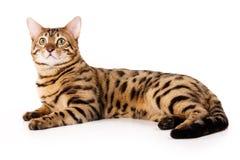 chat du Bengale photographie stock