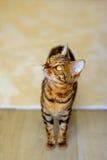 Chat du Bengale avec de beaux yeux dans la chambre Photos stock