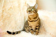 Chat du Bengale avec de beaux yeux sur le tapis Image stock