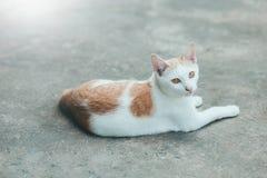 Chat du Siam de chats sur le plancher de ciment Chats se reposant sur le ciment la Floride Photos libres de droits