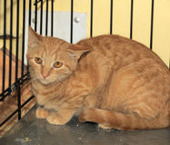 Chat effrayé sauvage dans une cage Image stock