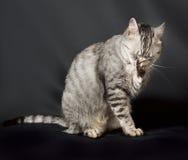 Chat en fond foncé, portrait de chat, chat dans le studio avec l'espace pour faire de la publicité et texte, chat, chat à la mais Photo stock