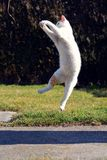 Chat espiègle jouant et sautant Image stock