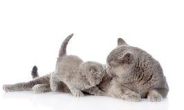 Chat et chaton de mère D'isolement sur le fond blanc Photo libre de droits