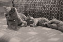 Chat et chatons de maman se trouvant sur le sofa Photo stock