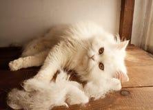 Chat et cheveux de chat photographie stock