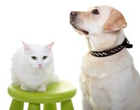 Chat et chien angoras blancs de race Labrador Photos libres de droits