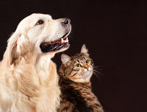 Chat et chien, chaton sibérien, golden retriever Photos stock