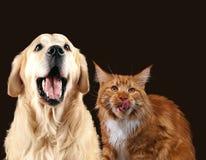 Chat et chien ensemble, chaton de ragondin du Maine, regard de golden retriever à la droite avec coller des langues Image libre de droits