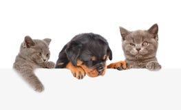 Chat et chien jetant un coup d'oeil par derrière le conseil vide D'isolement sur le blanc Photo libre de droits