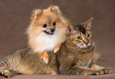 Chat et chiot dans le studio Photos stock