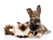 Chat et chiot ensemble Regard loin sur le backgrou blanc Photographie stock