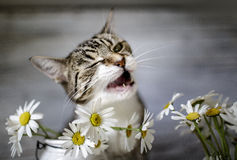 Chat et Daisy Flowers Photo stock