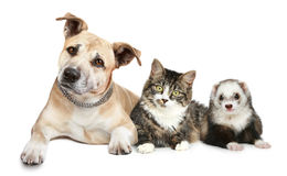 Chat et furet de chien terrier du Staffordshire Photo libre de droits