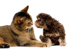 Chat et lapdog dans le studio Image stock