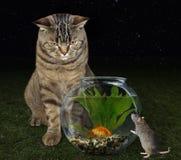 Chat et poisson rouge dans la cuvette Photos libres de droits