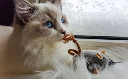 Chat et souris de Ragdoll Photo libre de droits