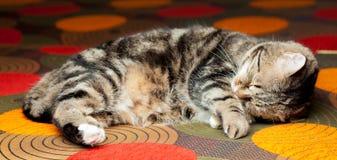 Chat européen détendant sur le sofa Photo stock
