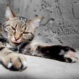 Chat européen dans l'avant sur un gris Images stock