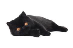 Chat exotique noir de minou de shorthair images libres de droits