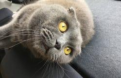 Chat expressif de gris de yeux image libre de droits