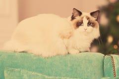 Chat Fête de Noël, chat de vacances d'hiver avec le boîte-cadeau Chat d'an neuf Arbre de Noël dans l'intérieur Image libre de droits