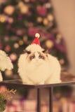 Chat Fête de Noël, chat de vacances d'hiver avec le boîte-cadeau Chat d'an neuf Arbre de Noël dans l'intérieur Images libres de droits