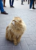 Chat f?ch? sur la rue image libre de droits