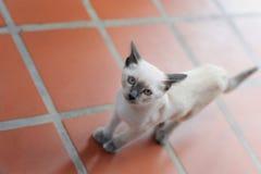 Chat faisant un pas sur le plancher carrelé Images stock