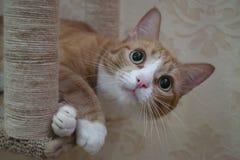 Chat fait maison de gingembre photographie stock libre de droits