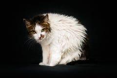 Chat fou avec les yeux ambres lumineux et les cheveux humides après s'être baigné Photo libre de droits