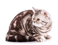 Chat frais sur un fond blanc Beau pur sang Cat Portrait photo libre de droits