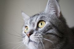 Chat Fullfaced photographie stock