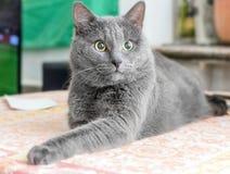 Chat gris étonné photographie stock libre de droits