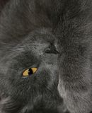 Chat gris image stock