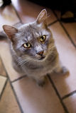 Chat gris Photographie stock libre de droits